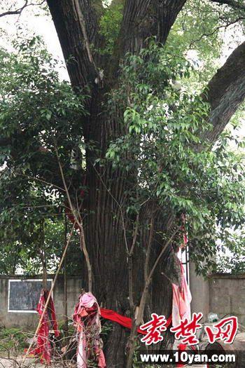郧西县六郎乡发现千年古树